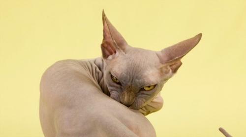 Кошки командуют в сети Интернет