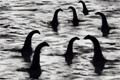 "Печатная реклама ""Чудовища Loch Ness""  Агентство: Beattie McGuinness Bungay  Рекламодатель: Coors Brewing Company  Бренд: Carling"