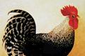"Печатная реклама ""Black Cock""  Агентство: DDB Buenos Aires  Рекламодатель: Taringa!  Бренд: Taringa!"